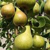 Anjou Pear