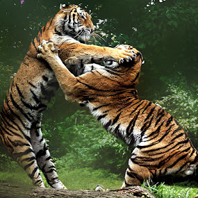 Cat Fight by John Larson - Animals Lions, Tigers & Big Cats ( animals in motion, amur tigers, motion, pwc76, animal,  )