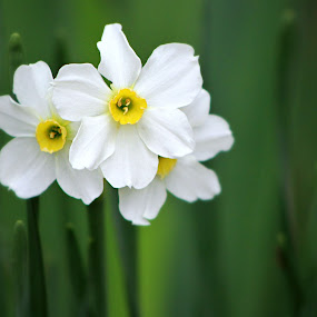 Paperwhites by Sona Decker - Flowers Flowers in the Wild (  )