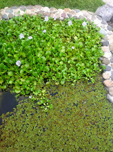 Photo: This contains pond is the recycled grey water.  There are two types of aquatic pĺans: an endemic lily and fern.