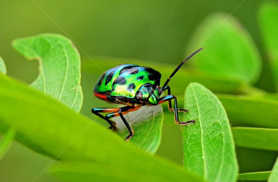 Bug Salsa by Sourajit Ghosh - Animals Insects & Spiders ( insects )