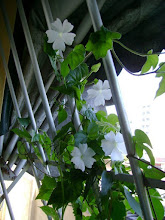 Photo: Thumbergia Mini ( Thumbergia fragans )