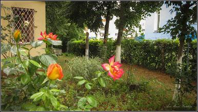 Photo: Trandafir (Rosa)  - Calea Victoriei, Bloc B 15 - 2019,07.14