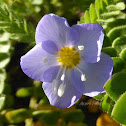Showy Jacob's-ladder