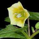 Wild Gooseberry