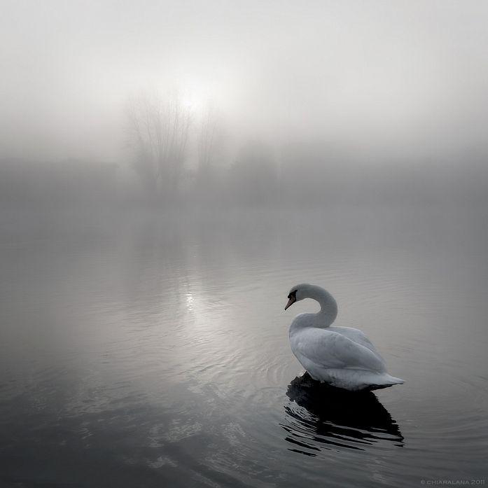 عکس از قو در دریاچه