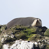 Subantarctic Fur Seal