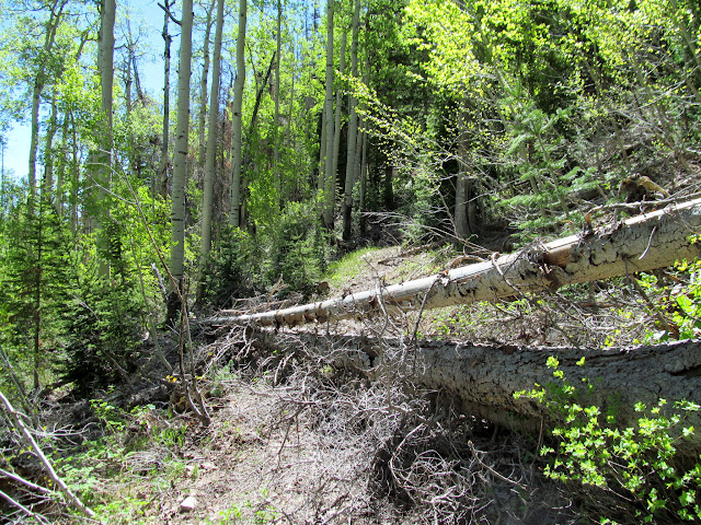 Fallen trees across the trail