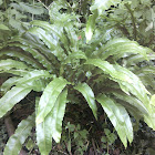 Hart's-tongue fern