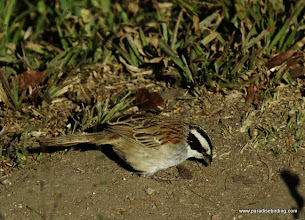 Photo: Stripe-headed Sparrow, Puerto Vallarta Botanical Gardens