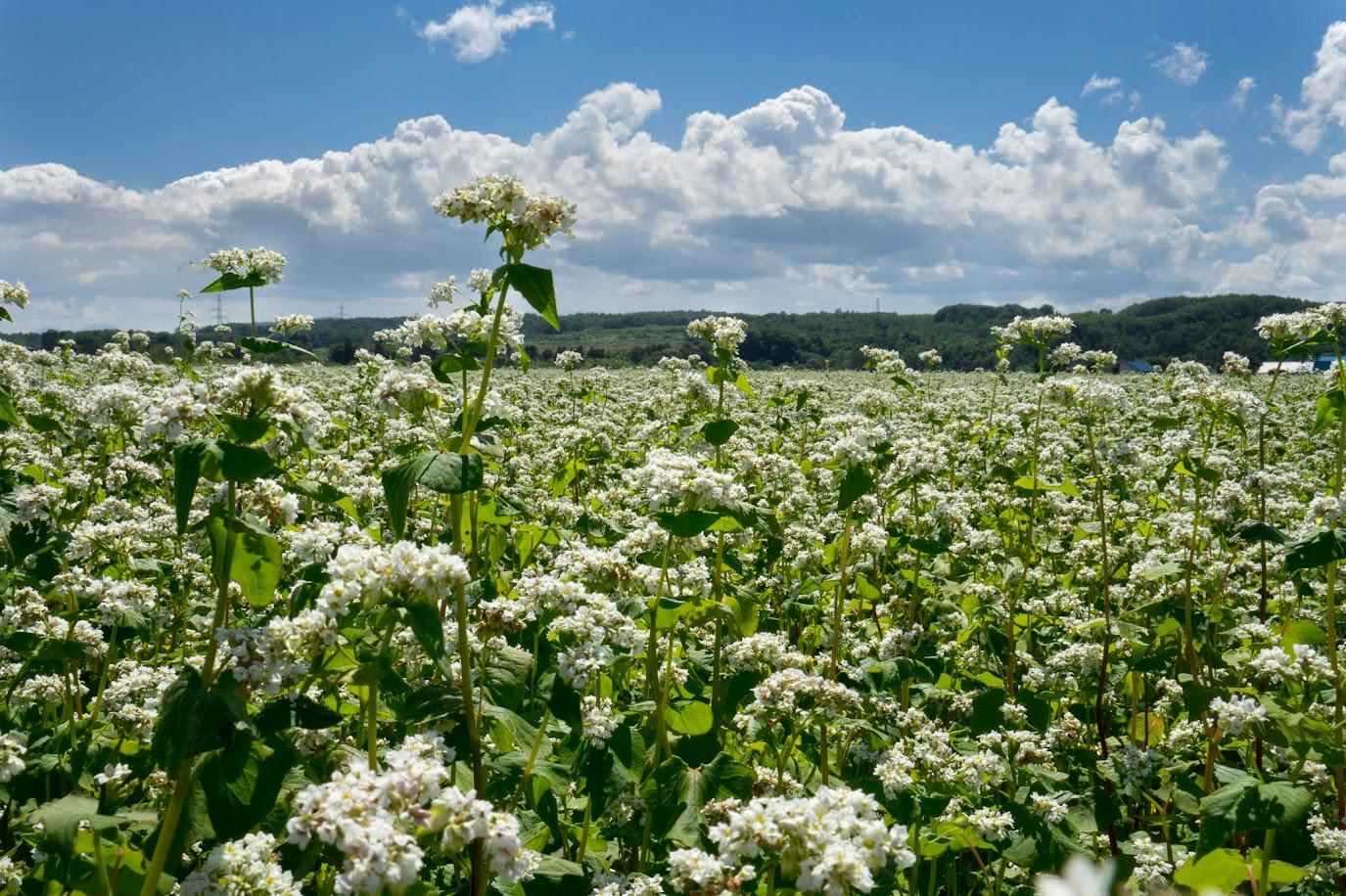 白い綿のようにみえる「そばの花」