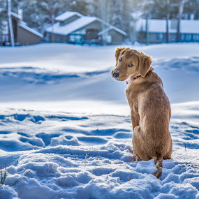 by Caitlin Lisa - Animals - Dogs Portraits ( winter, snow, puppy, dog, golden retriever )