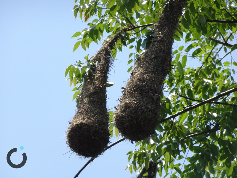 nidos de pájaros