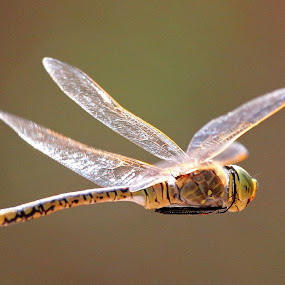 Dragonfly in flight by Simon  Rees - Animals Insects & Spiders
