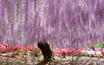 Photo: Wisteria  A super quick post since I need to rush off to work!  Taken May 5th, after an impromptu trip to the Ashikaga Flower Park. Apparently the flower park has different flowers blooming year-round, but during the latter week of April/first week of May, the wisteria trees are in full bloom.  I got a number of shots that I'll be uploading to a separate album when I get the chance, but for now, this is the #creative366project entry for May 5th. :)  Gotta run, have a good day all!