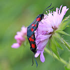 Narrow-bordered Five-spot Burnet or Hornklee-Widderchen