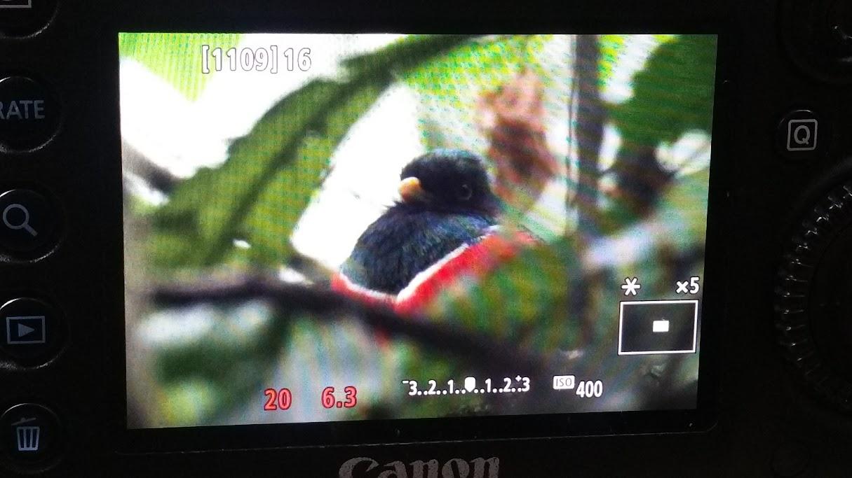 quetzal rojo