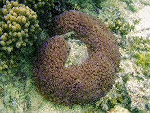 Photo: Goniopora sp. (Flower Pot Coral), Naigani Island, Fiji