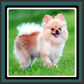 Live Wallpapers – Pomeranians