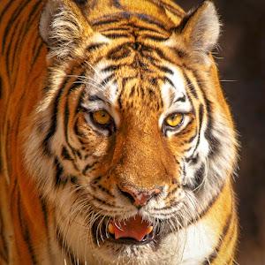 Tiger-3.jpg