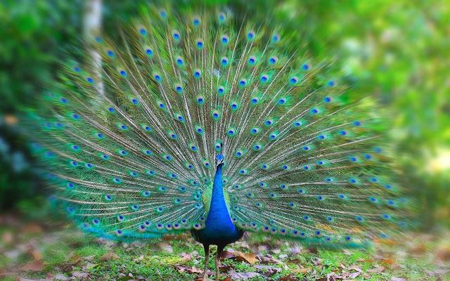 Peacocks Tab