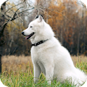 Malamute Dog HD Live Wallpaper icon