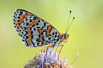 Photo: Melitaea Didyma, Mélitée Orangée, Spotted Fritillary http://lepidoptera-butterflies.blogspot.com/ https://www.facebook.com/pages/Macro-Photography-Do-Dema/540798875993427