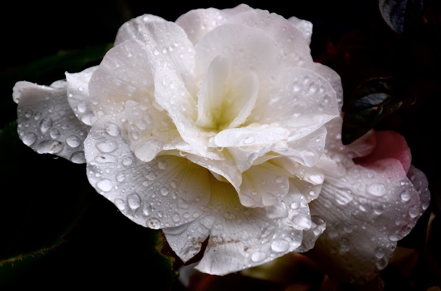 by Nadine Harkness - Flowers Single Flower