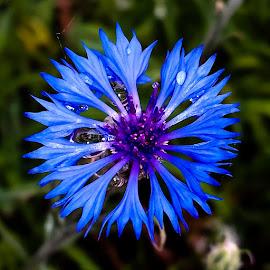 Deep Blue by Daniel Jensen - Flowers Single Flower ( wild flower, nature, flower closeup, blue flower, flower )
