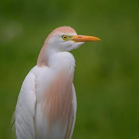 Cattle Egret Portrait by Don Holland - Animals Birds