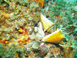Photo: Octopus lunching on conch