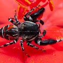 Wasp Mimic Spider