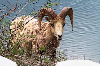 Photo: Bow Valley Wildland PP - Bighornsheep