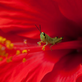 Grasshopper by Jeremy Mendoza - Animals Insects & Spiders ( red, nature, pollination, insect, grasshopper,  )