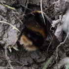 Buff-tailed Bumble-bee
