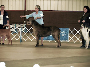 Photo: 10-05-2014 Hound Group Competition Franky with Lisa