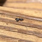 Slender Bodied Jumping Spider