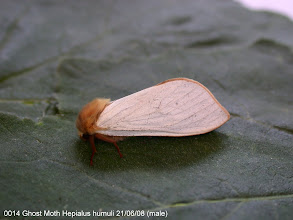 Photo: Male Ghost Moth