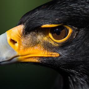 Verreaux's Eagle by Martin Oosthuizen - Animals Birds