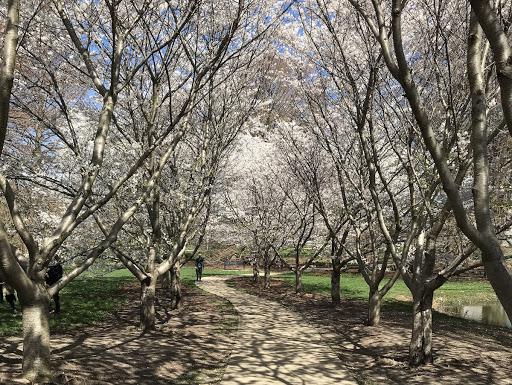 Best Kept Secret: Cherry Tree Blossoms in Urbana