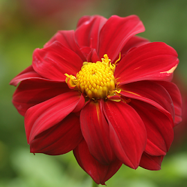 by Carmen Quesada - Flowers Single Flower ( red, single, dahlia, petals, flower )