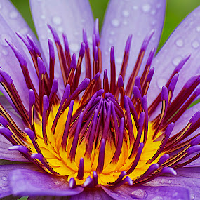 Violet by Charliemagne Unggay - Nature Up Close Flowers - 2011-2013 ( nature, violet, water lily, flower, natural background )