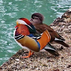 Mandarin ducks by Andjela Miljan - Animals Birds (  )