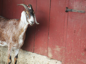 Photo: Rust-colored goat against a red bar at Carriage Hill Metropark in Dayton, Ohio.
