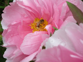 Photo: Peonies are the stars of the garden in May.