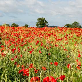 Across the poppy field by Carol Henson - Landscapes Prairies, Meadows & Fields ( blackbirds hill, poppies, northamptonshire, poppy, landscape, june 2015,  )