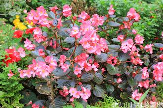 Photo: 拍攝地點: 梅峰-溫帶花卉區 拍攝植物: 秋海棠 拍攝日期: 2014_09_27_FY