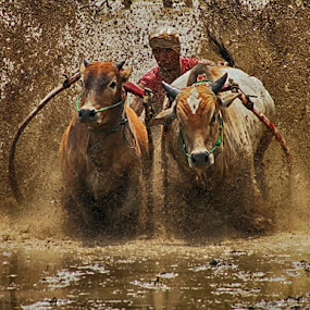Running in pairs by Syafriadi S Yatim - Sports & Fitness Other Sports ( #pacu_jawi #cow_race #batusangkar #tanah_datar #indonesia )