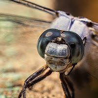 Dragonfly di