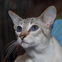 Siamese Cats Live Wallpaper icon